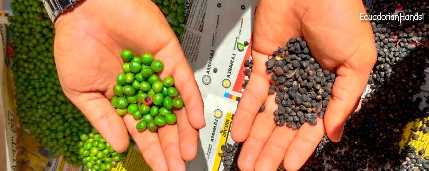 Palo Santo seeds