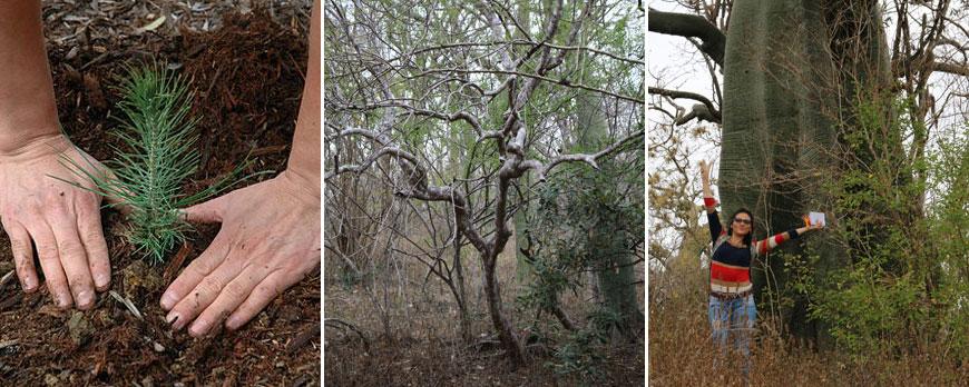 reforestation-Palo-Santo-