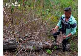 ¿Está el Palo Santo realmente en peligro? ¡Adopta un árbol Bursera Graveolens!