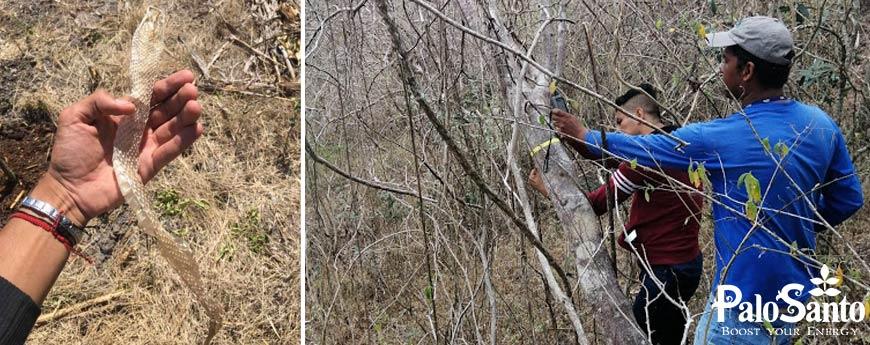 Durante el etiquetado de los árboles de Palo Santo, encontramos piel de serpiente.