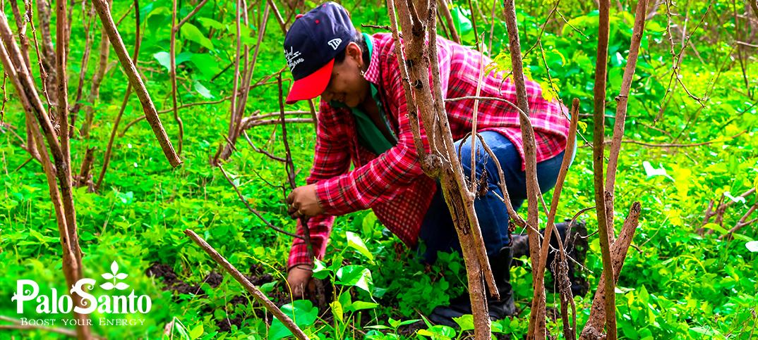 Palo Santo Reforestation  Program