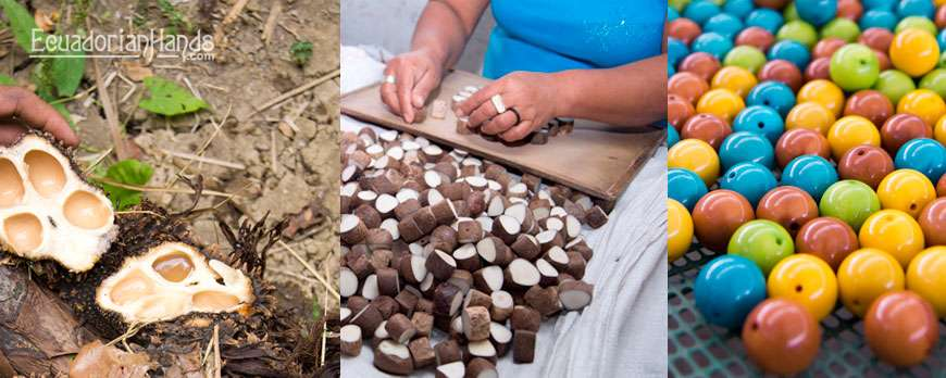 Ten truths about Tagua (vegetable ivory)